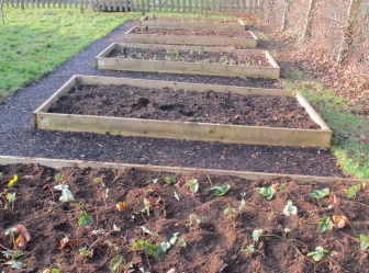 Five raised beds with plants starting to grow